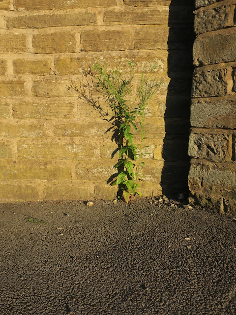 Tall plant in the evening in front of wall. 17th July 2021