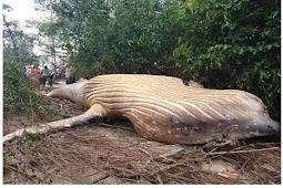 Ikan Paus Bungkuk Mati Ditemukan di Hutan Amazon, Peneliti Bingung
