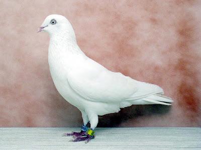 Gambar burung merpati jenis cumulet