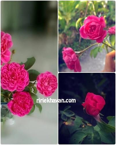 Bunga-Mawar-Asli-Berbau-Harum