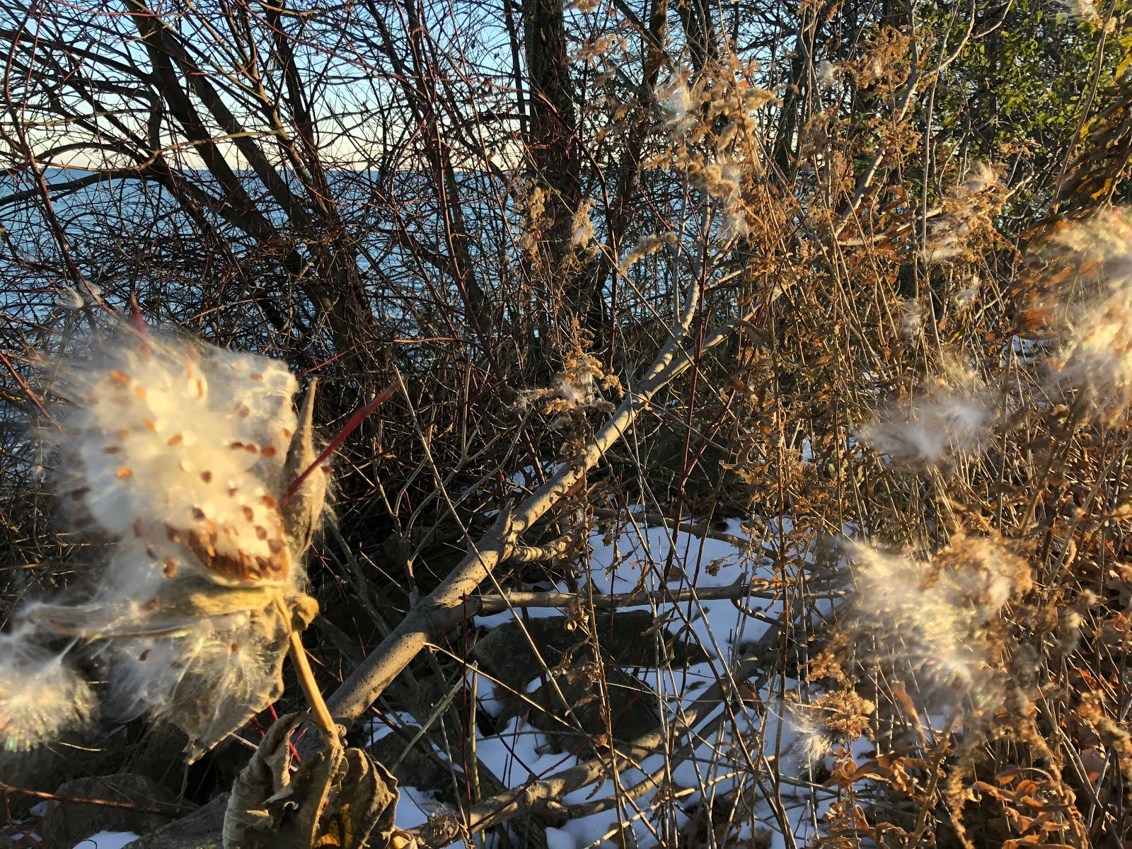 Milkweed along Lake Michigan