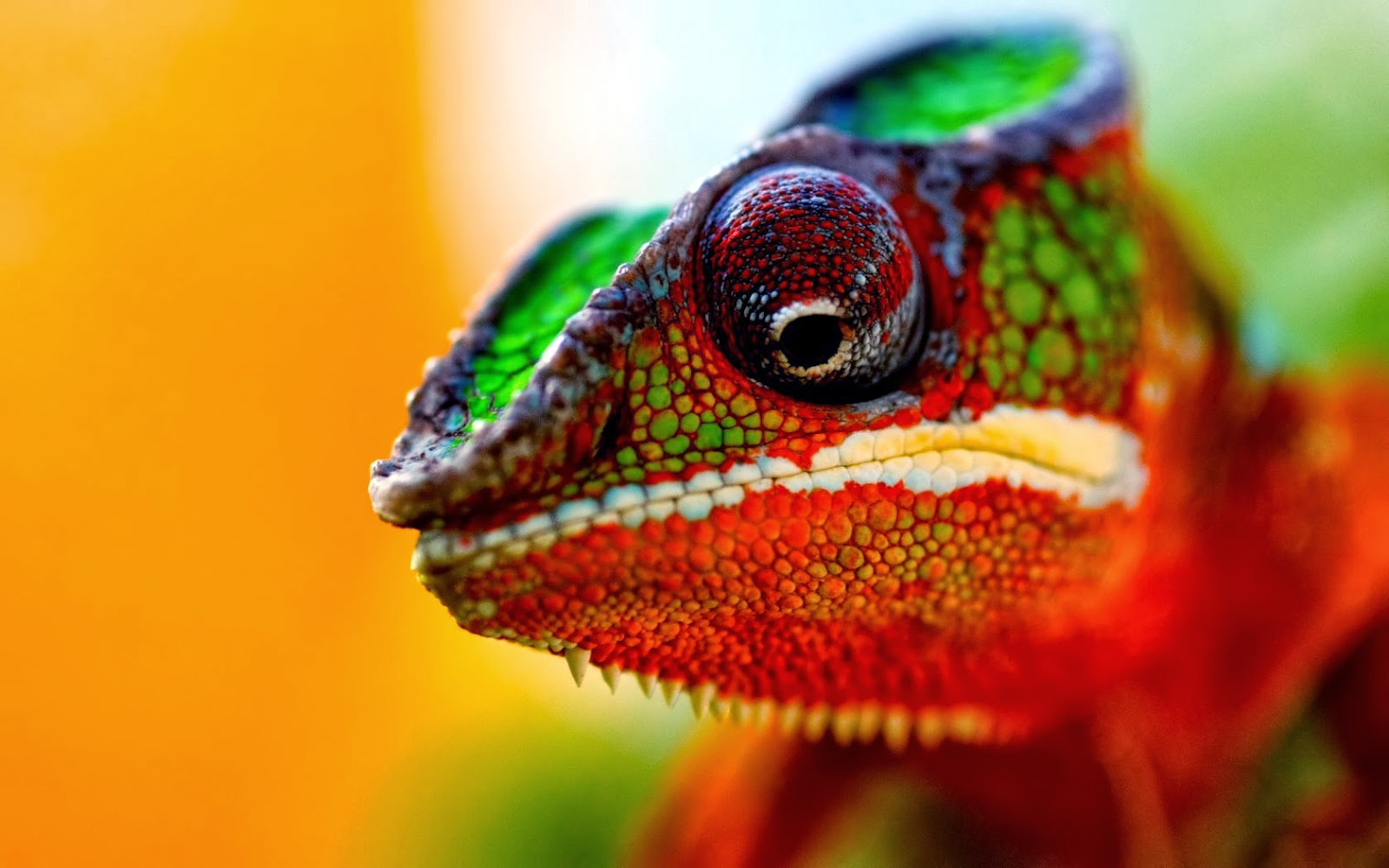 Chameleon Colors Indicate Moods | Fun Animals Wiki, Videos, Pictures ...