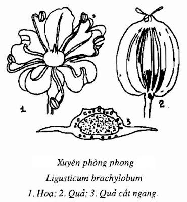 Hình vẽ Xuyên Phòng Phong - Ligusticum brachylobum - Nguyên liệu làm thuốc Chữa Cảm Sốt