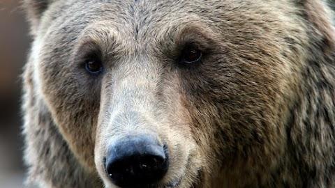 Medvét észleltek a Bükkben, Szilvásvárad környékén