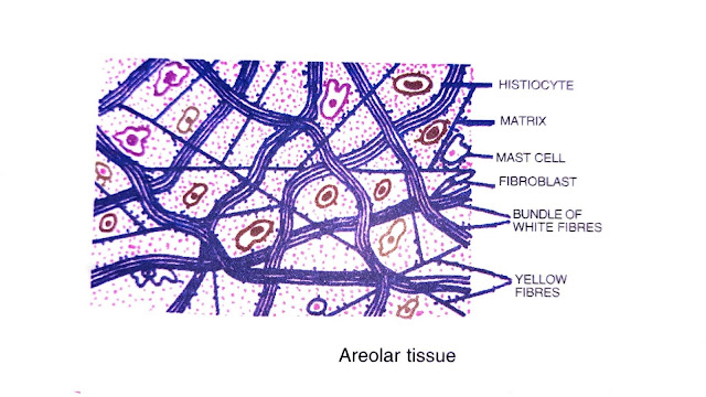 what are the four types of animal tissues