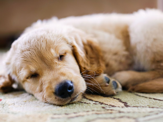 Why Do Dogs Sleep So Much? Here Is the Answer