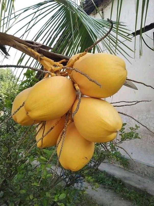 Bibit Tanaman kelapa gading kuning Kalimantan Barat