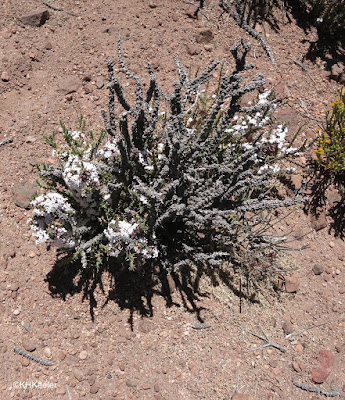 Atacama wildflowers