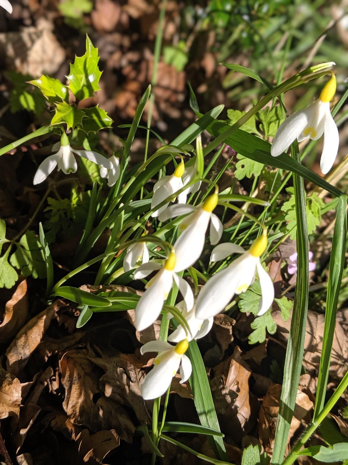 Howick Hall Snowdrop Walk & Sensory Garden - Yellow Howick Snowdrops