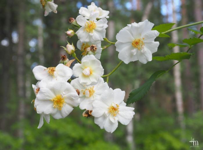 valkoiset ruusut - white roses