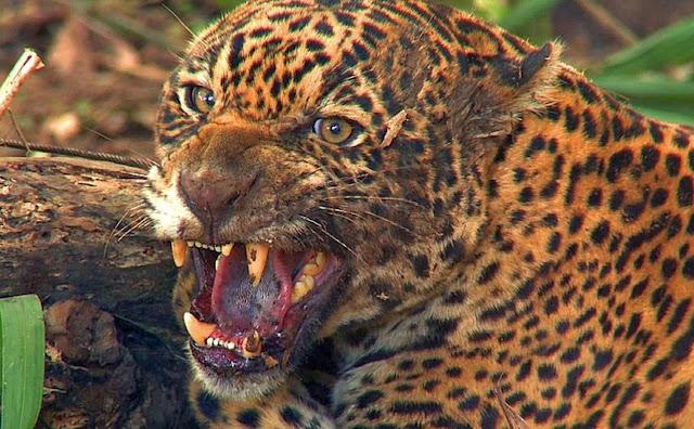 Ocupando o topo da cadeia alimentar, e o posto de maior felino das Américas, a onça-pintada tem como único predador, o homem.