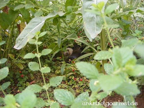 Der Meerschweinchen-Dschungel unter der Zitronenmelisse