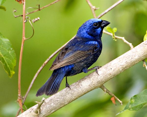 Aves en El Salvador AZULEJOS
