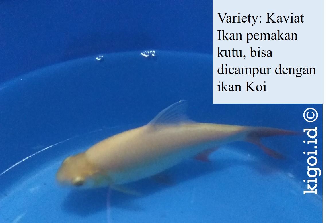 Perkenalkan Ikan Kaviat Si Pemakan Kutu Ikan Koi Kigoi