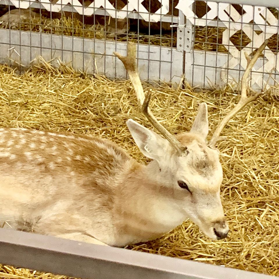 Reindeer at Santa's Village #ad
