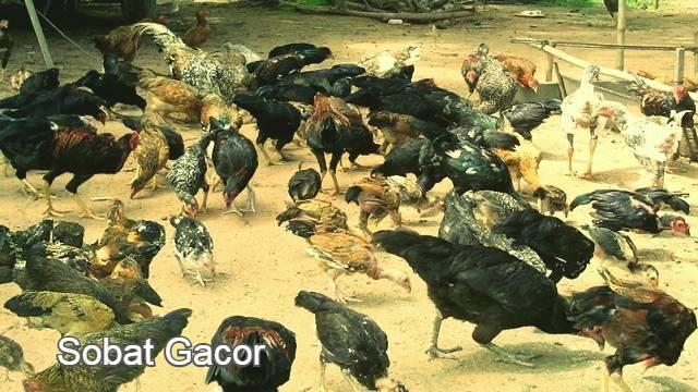 Tips Ampuh Mengawinkan Ayam Bangkok Agar Cepat Bertelur
