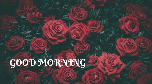 good morning rose images pinterest