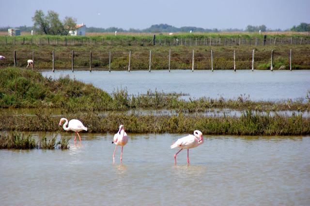 Alcuni fenicotteri rosa nel parco nazionale della Camargue