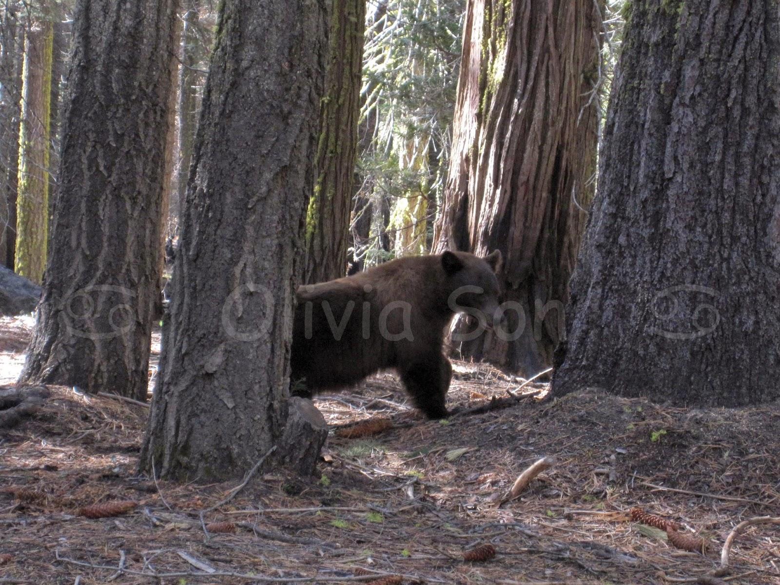 ours Yosemite National Park, California, USA