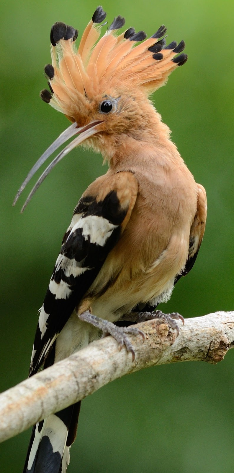 Beautiful hoopoe bird.