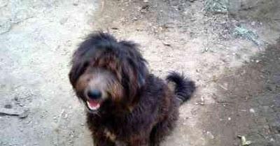 معلومات عن كلب الارمنت ( المصري ) + اصول الكلب وتاريخه