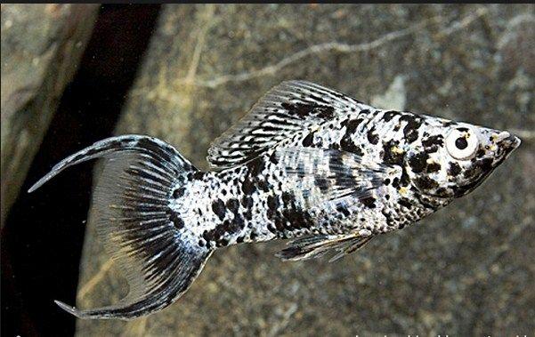 Info Tentang Ikan Hias Marmer Lyretail Molly yang Cantik