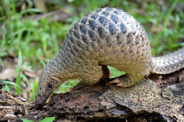 Nearly 900,000 pangolins trafficked worldwide: watchdog