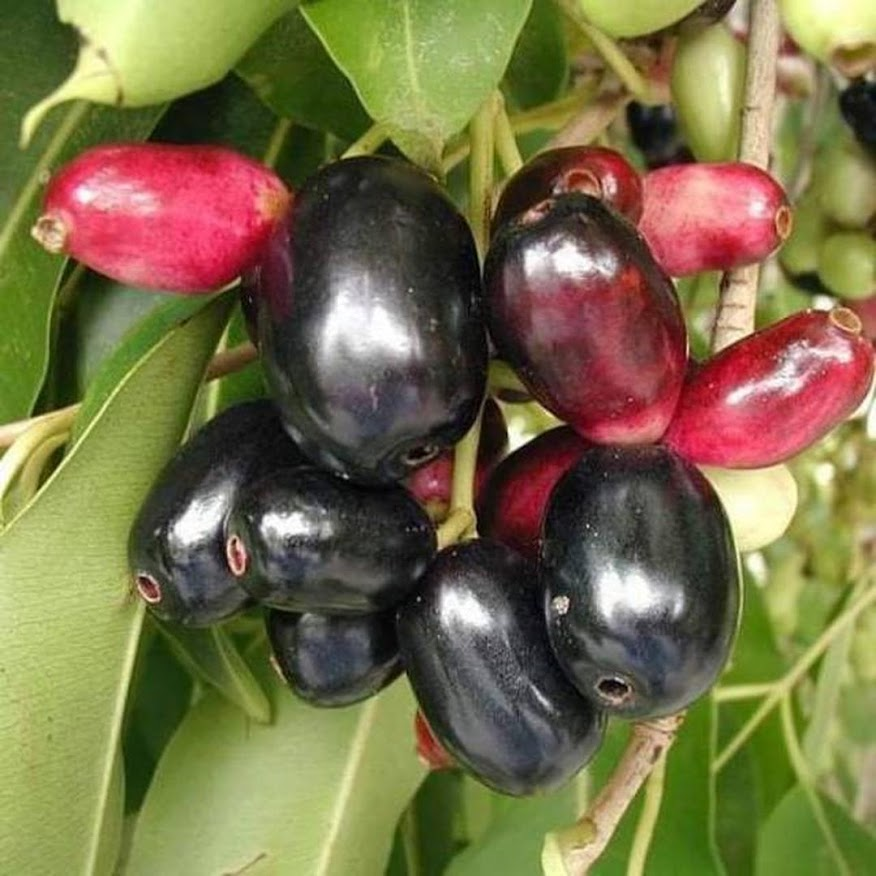 Bibit juwet atau Jamblang hitam Sumatra Utara
