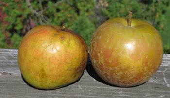 Two russeted apples