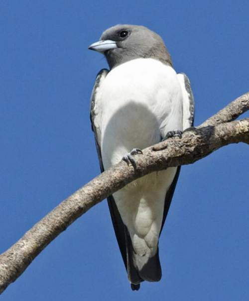 Birds of India - Photo of White-breasted woodswallow - Artamus leucoryn