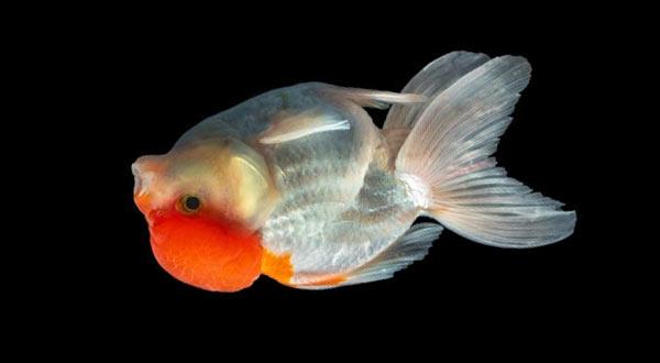 Penyebab dan Cara Mengobati Swim Bladder Pada Ikan Mas Koki