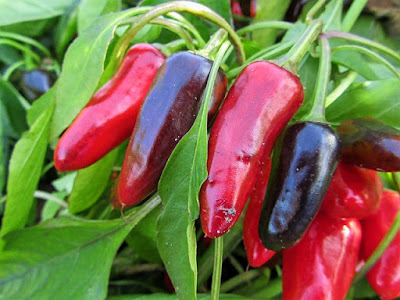 Closeup of Red and Purple Peppers Growing