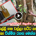 About Walla Patta Tree Sri Lanka  - (Watch Video)