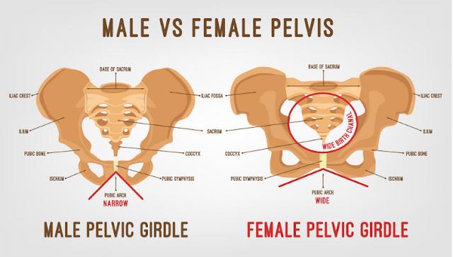 anatomi tulang pelvis (panggul), perbedaan tulang panggul (pelvis) laki-laki dan perempuan, sendi dan ligamen tulang panggul (pelvis), dan fisiologi otot dasar panggul (pelvis) manusia.