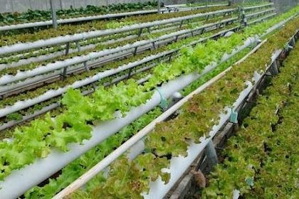 10+ Jenis Sayuran Hidroponik yang Mudah Ditanam Untuk Pemula