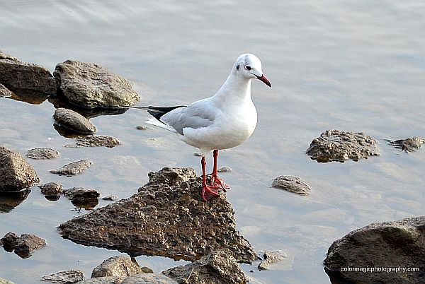 Black Headed Gull in winter plumage