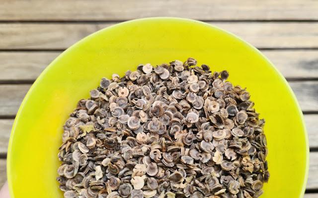 Anleitung: Stockrosen-Samen ernten & Stockrosen aus Samen ziehen. Wie Ihr die Samen der Stockrosen bzw. Stockmalven erntet und später wieder aussät bzw. einpflanzt, zeige ich Euch in einer einfachen Schritt-für-Schritt-Anleitung.