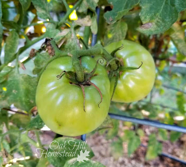 How can you save green tomatoes from frost?