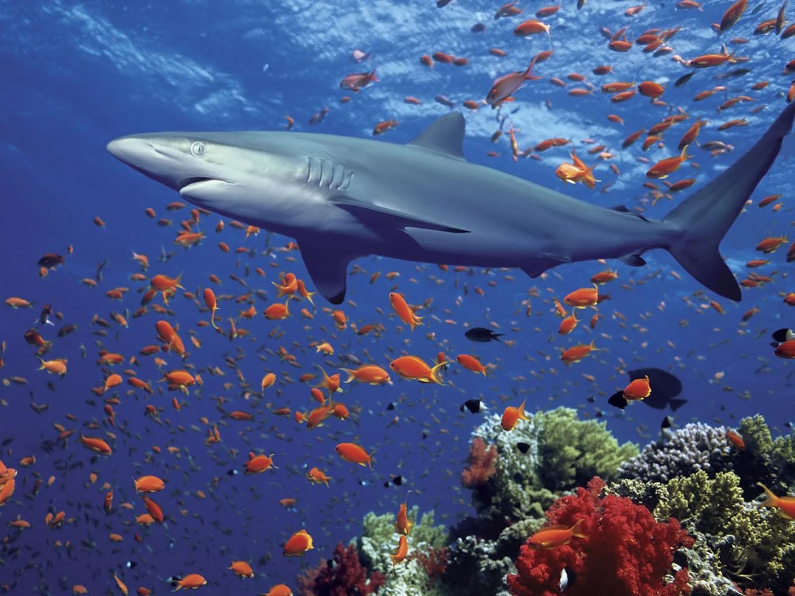 Shark Wallpaper HD Shark Pictures - HD Animal Wallpapers