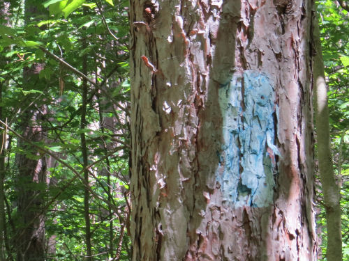 trail blaze on red pine