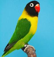 Lovebird Dakori grade A