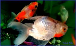 Ikan mas koki mati mendadak