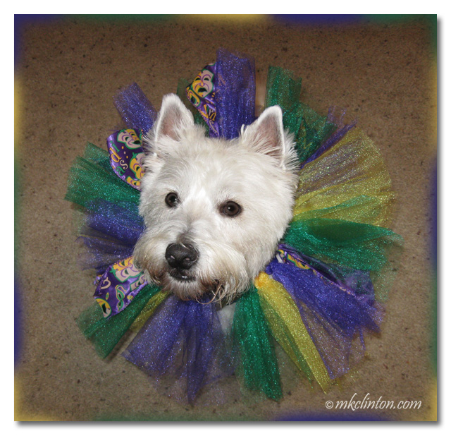 Pierre Westie loves participating in Mardi Gras