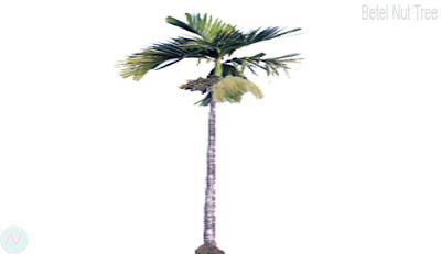 Betel nut tree,সুপারি গাছ