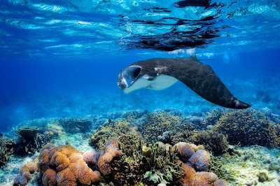 Menikmati Pemandangan Laut,Snorkeling,Kawasan Manta Point menjadi tujuan wisata bahari yang wajib anda kunjungi ketika berada di Flores, Nusa Tenggara Timur.