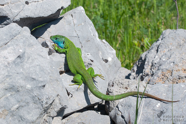 Lacerta viridis - European Green Lizard