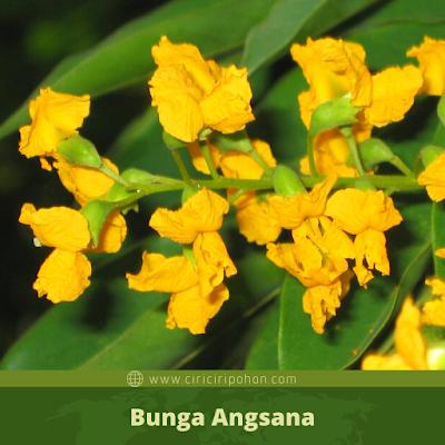 Bunga Angsana