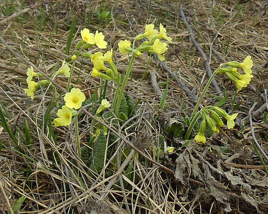 Pierwiosnek wyniosły (Primula elatior).