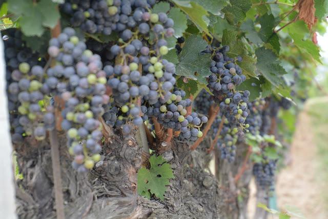 Weintrauben Italien