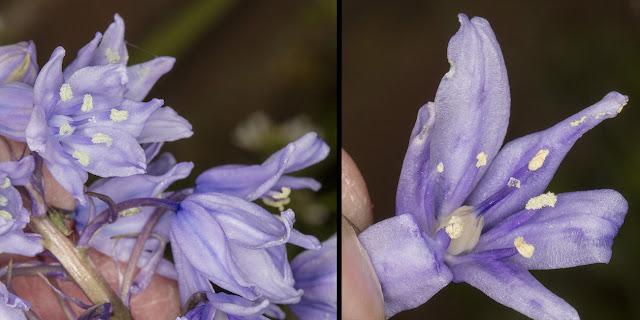 Hybrid Bluebell, Hyacinthoides x massartiana.  Hayes, 25 April 2016.